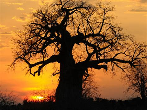 sunset baobab tree  tanzania  wallpaperscom