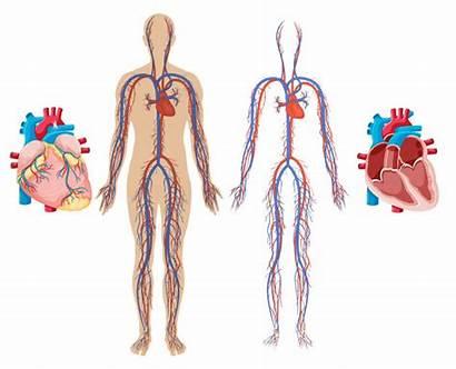 Cardiovascular System Heart Human Vector Circulatory Clipart