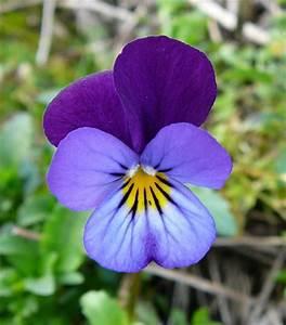 Aktuelle Blumen Im April : wildes stiefm tterchen ~ Markanthonyermac.com Haus und Dekorationen
