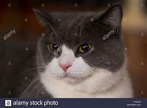 Weißer Wurm Katze : englisch kurze haare katze blau grau mit wei er farbe gemischt britische hauskatze stockfoto ~ Markanthonyermac.com Haus und Dekorationen