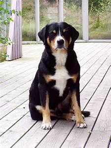 Appenzeller sennenhund - Puppies, Rescue, Pictures ...