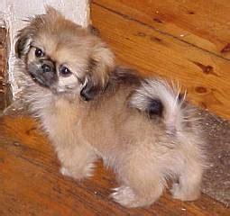 pedigreed pekingese dogs breeders  south africa