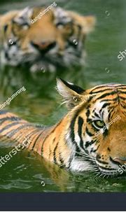 Two Bengal Tiger Swimming Only Head Stock Photo 269477642 ...