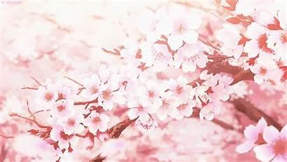 Cherry Scenes Blossom Blossoms Falling Dramas Scene