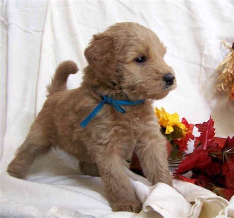 whoodle wheaten terrier poodle mix info temperament
