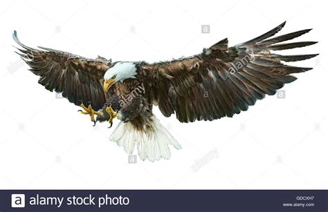 bald eagle winged draw and paint color illustration