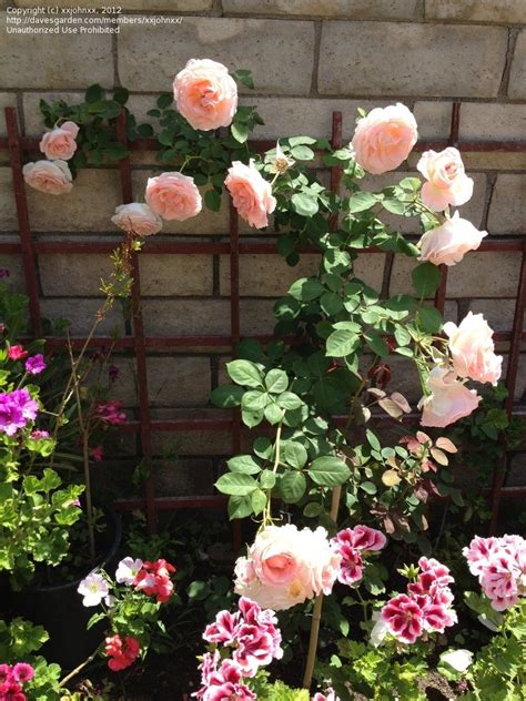 Plantfiles Pictures Largeflowered Climbing Rose 'pearly