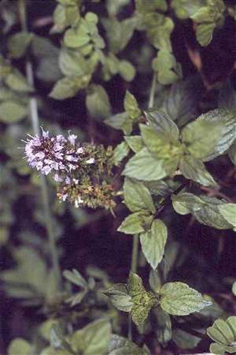 mosquito plant scientific name peppermint classification