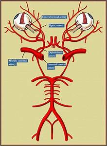 Diagram Showing The Circle Of Willis  Middle Cerebral A
