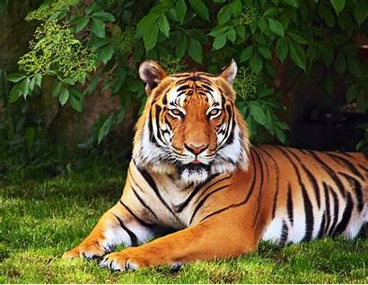 Tiger Screen Animals Background Wallpapers Widescreen Tree