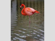 Natinal Bird Of Bahamas American Flamingo 123Countriescom