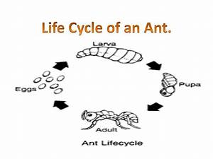 Life Cycle Of An Ant