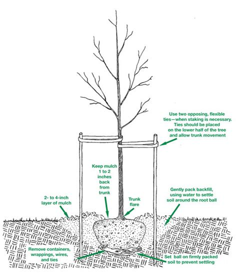 how to plant a tree how to plant a tree port kells nurseries