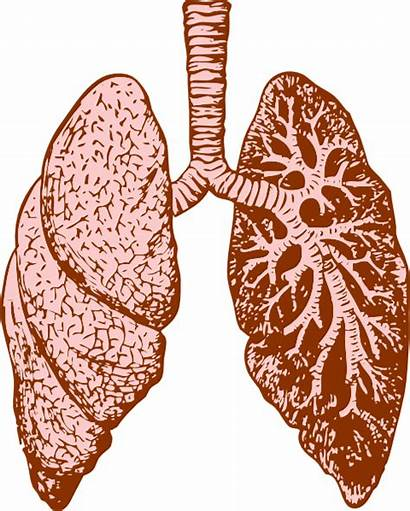 Lungs Lung Clip Clipart Drawing Svg Clker