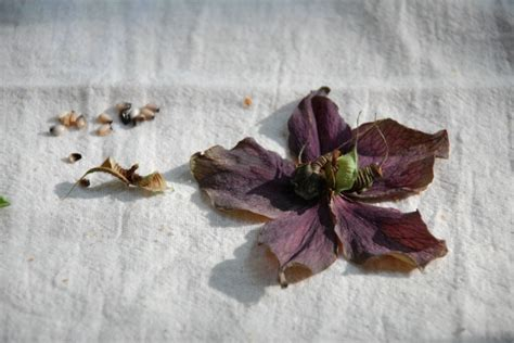 transplanting hellebore seedlings how to propagate hellebores the garden of eaden