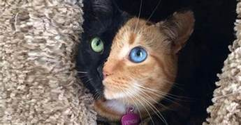 venus the two faced cat meet venus the most amazing cat in the world