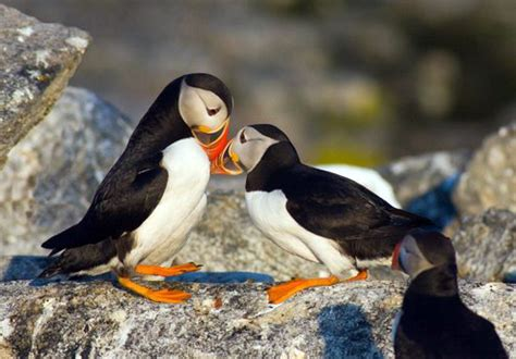 edge of the plank cute animals puffins