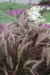 Purple Fountain Grass (Pennisetum setaceum 'Rubrum') in