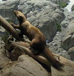 North American Mammal Fisher