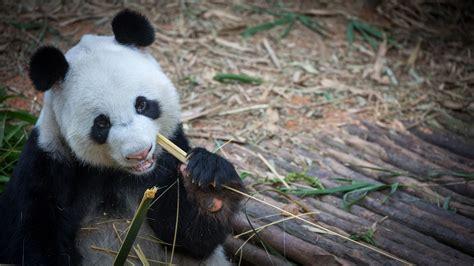 giant panda black  white cat foot  images