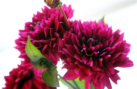 Krāšņi zied Dālijas