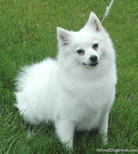 miniature american eskimo dogs american eskimo for sale breeds picture