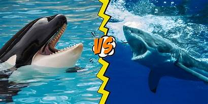 Shark Whale Vs Killer Orca Attacks Facts