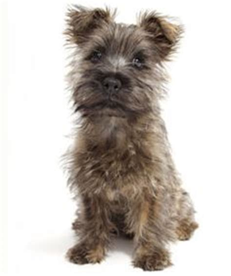 Cairn Terrier Shed Hair by Penelope The Pomeranian Mix Pictures 1042100 Puppies