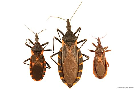 faq kissing bugs  chagas disease    texas