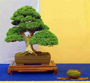 Chinesischer Wacholder Bonsai : mbr bonsai des jahres ~ Sanjose-hotels-ca.com Haus und Dekorationen