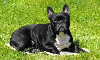 Bulldog French Dogs Bulldogs Breeds Shed Animal