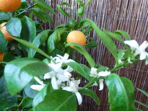 Lange Blühende Pflanzen by Lang Bl 252 Hende Zimmerpflanzen Calamondinorange