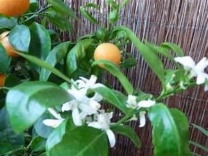 Lang Blühende Pflanzen : lang bl hende zimmerpflanzen calamondinorange ~ Eleganceandgraceweddings.com Haus und Dekorationen