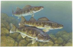 Walleye photos and wallpapers. Nice Walleye pictures