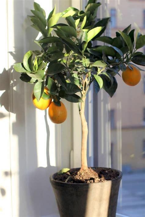 truth  indoor citrus trees hint  belong outdoors remodelista indoor lemon