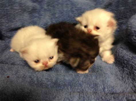 newborn kittens  sale irkincatcom