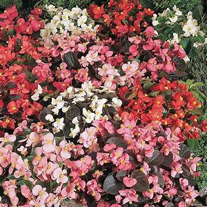 Begonia semperflorens 'Options Mixed' seeds   Thompson ...