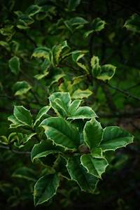 PlantFiles Pictures: American Holly 'Steward's Silver ...