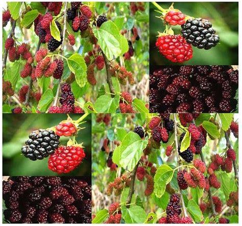 mulberry tree no fruit black mulberry fruit tree black mulberry pinterest