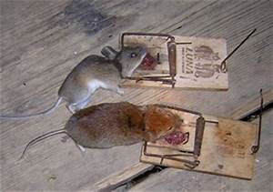 Maulwurffalle Selber Bauen : lebendfalle maus lebendfalle maus lebendfalle korbfalle mausefalle maus lebendfalle maus ~ Watch28wear.com Haus und Dekorationen