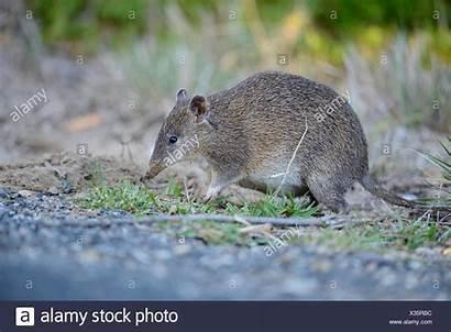 Bandicoot Brown Southern Tasmania Quenda Australia Short