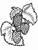 Coloring Pages Raspberries Berries Print Printable Fruits Recommended sketch template