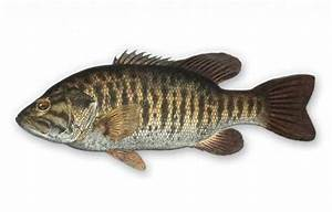 Hybrid Black Bass - In-Fisherman