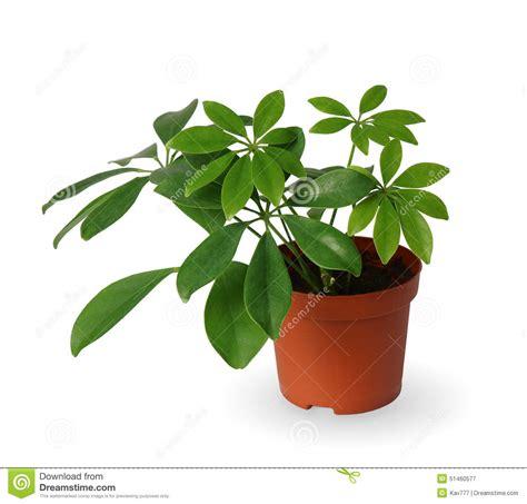 plante d int 233 rieur schefflera une usine mise en