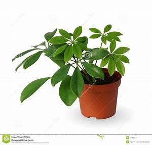 Plante D Extérieur En Pot : plante d 39 int rieur jeune schefflera une usine mise en ~ Dailycaller-alerts.com Idées de Décoration