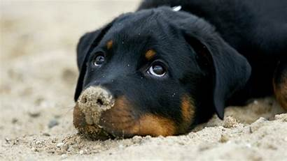 Dogs Rottweiler Dog Funny Puppy Rottweilers Breeds