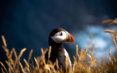 puffin wallpaper  pictures