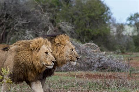 african lions to join the shop vimaxpurbalingga com