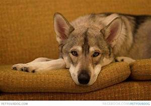 Tamaskan Dog | Dog Pictures & Videos - Funny, Cute, Wacky ...