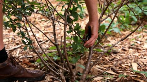 how to trim bushes how to trim bushes and shrubs images frompo 1